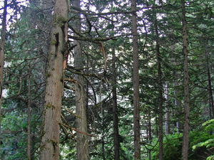 Giant Ceder Trees