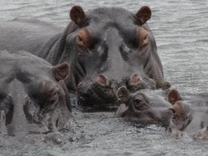 met links hippo's