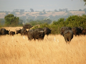 29 - Queen Elisabeth NP - buffels
