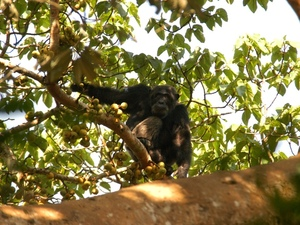 38 - Kibale forest - chimpansee