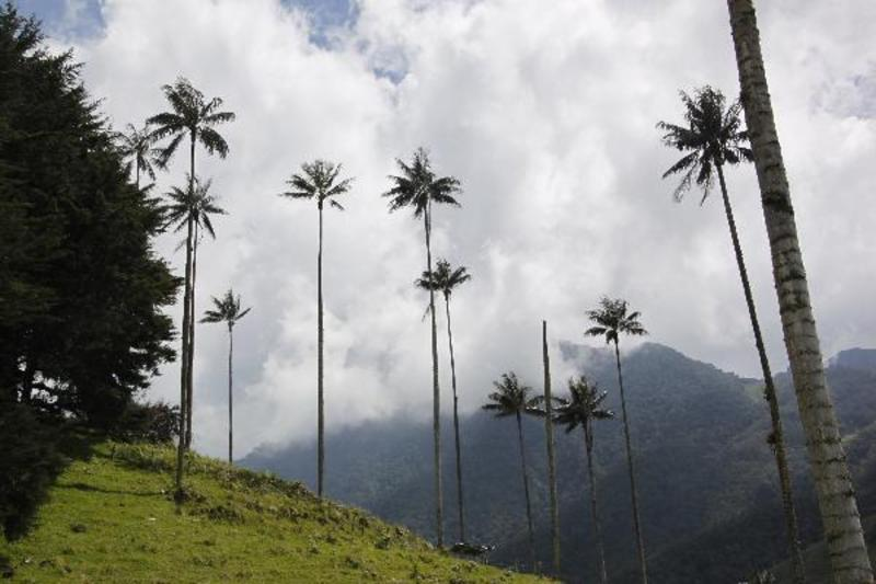 Nationaal park Valle Cocora met de nationale boom de palmwax.