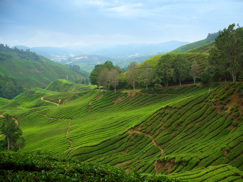 Cameron highlands - theeplantages
