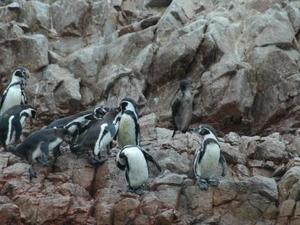 Ballestas Eilanden - Pinguins