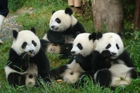 Reuzenpanda Chengdu China Groepsreis Junior