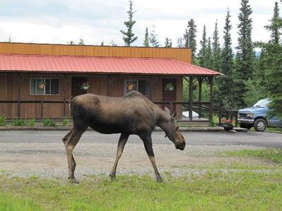 White Moose Lodge Healy buiten Alaska accomodatie Djoser