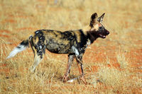 An african Wild Dog in Kruger