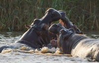 Hippo's in St. Lucia Zuid Afrika