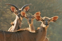 Kudus in nationaal park in Zuid-Afrika