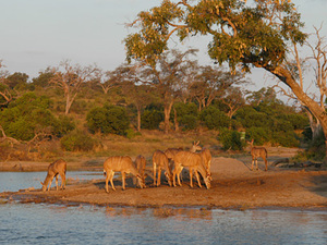 Chobe Nationaal park - rivercruise - kudu's