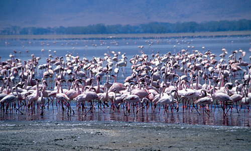 Lake Nakuru – flamingo's