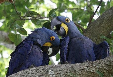 Hyazinth Aras im Pantanal